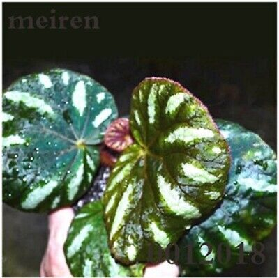RARE 100 Pcs Begonia Bonsai Flower plant Garden Terrace Color Leaf Begonia Seeds