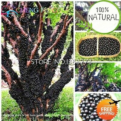 Edible Good Taste Seeds Plants Jabuticaba Healthy Fruit Indoor&outdoor 100pcs