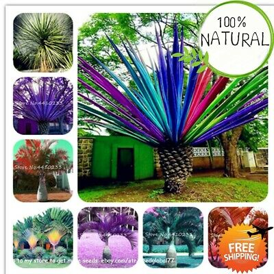 Rainbow Japanese Bottle Seeds Plants Palm Bonsai Tree Exotic Tropical 10pcs