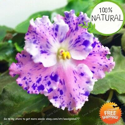 Saintpaulia Ionantha Bonsai Seeds Plants Flower African Violet Beautiful 100pcs