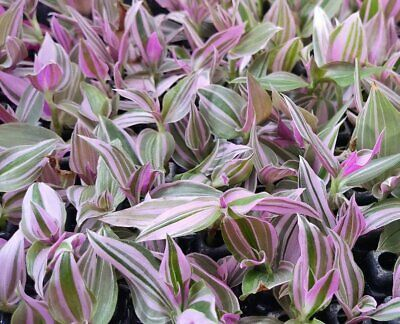 Tradescantia fluminensis 'Mini Lilac' one rootless cutting VERY rare house plant