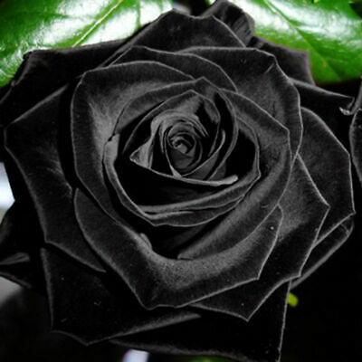 Seeds Plant Black New  Hot Rose Beautiful Rose 100Pcs Flower Black Mysterious