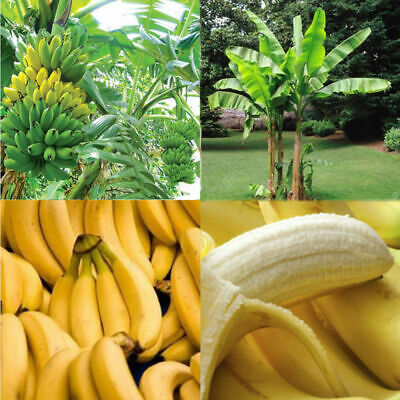 Fruit Garden Banana Delicious Plants Seeds 100PCS/Pake Musa Home Hot Taste Tree