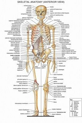 Skeletal System Poster Anatomical Chart Human Body Skeleton Medical 27x40 inch