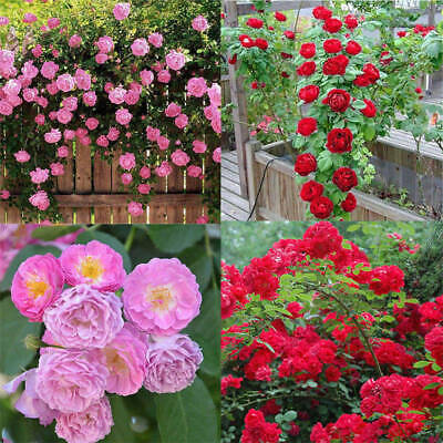 Rose red Seed Decor Garden 100pcs Plant Pink Perennial Flower Climbing Seeds