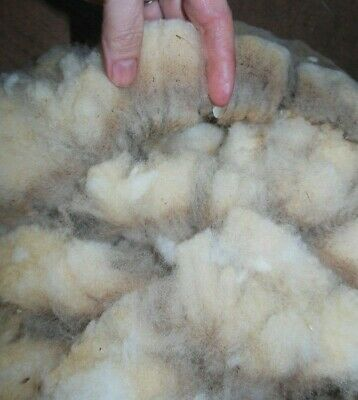 Raw Wool Shetland Babydoll over 1.25lb spinning felting batting unwashed Cream