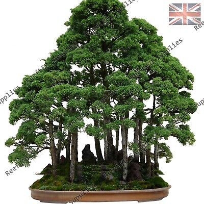RARE Dawn Redwood Bonsai, Giant Sequoia Tree - 10 Viable Seeds - UK Seller