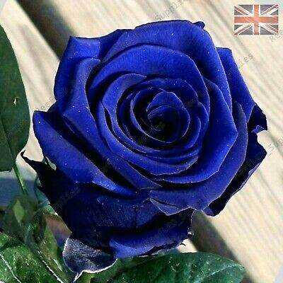 Rare Blue Rose Flower Seeds Garden Plants - UK Seller - 10x Viable Seeds