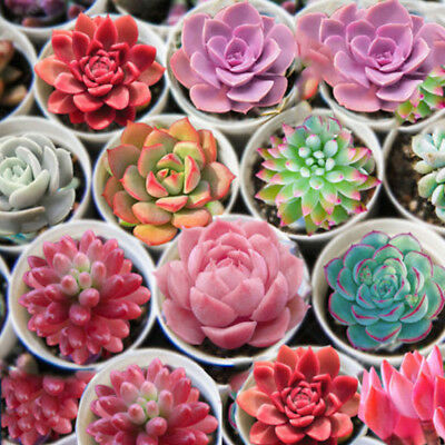 500Pcs Mixed Succulent Plants Rare Living Potted Lithops Home Garden Supply