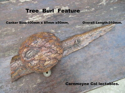 Unusual Tree Burl  Wooden Display  Feature.AH1825.