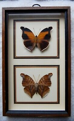 Real Peruvian Butterfly Historis Orion Brown Butterfly Framed From Eclectic Cool