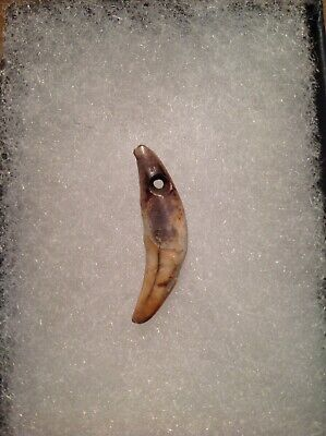 Genuine Pre-columbian Canine Tooth - Intact