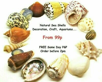 Shells Seashells, Craft Shells Beach Shells Individual Wedding Shells Sea Shells