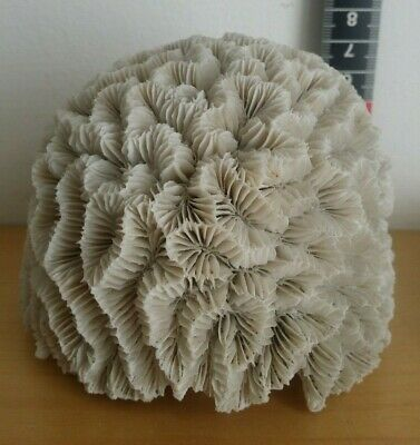 Fantastic Large Beautiful Marine boal coral skeleton cluster Perfect