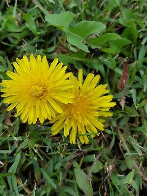 DIENTE DE LEON Taraxacum officinale - comestible -  1500 Semillas seeds