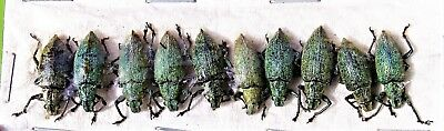 Lot of 10 Gold Dust Snout Beetle Hypomeces squamosus FAST FROM USA