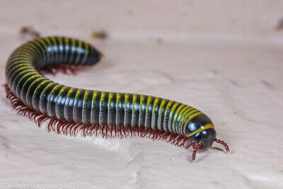 ## Various millipede - good choice ## spiders, cockroaches, insect ###