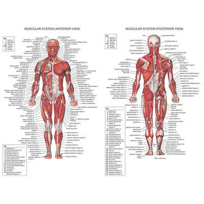 Muscular System Anatomical Poster Chart Laminated Poster Muscle Anatomy Chart