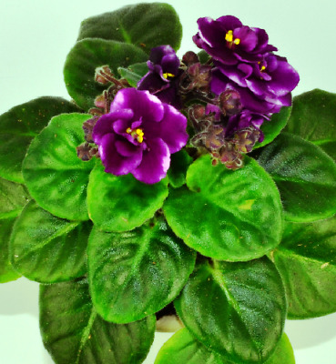 African Violet **Trailers** UNROOTED LEAF PAIR 2 leaves MANY TO CHOOSE FROM