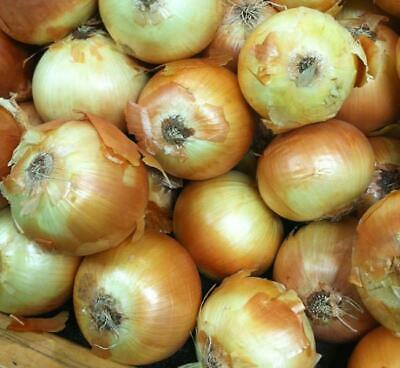 Yellow of Parma Onion Seeds + FREE Bonus 6 Variety Seed Pack - a $30 Value!