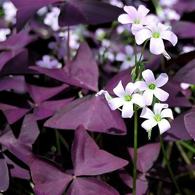 Bolly Bulbs® Oxalis Triangularis Bulbs Purple False Shamrock Outdoors or Indoors