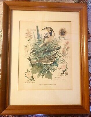 Arthur Singer Naturalist & Painter Of Birds Framed Print Western Meadowlark Vtg