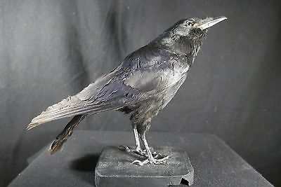 7efa2543180 Vrai Corbeau Ou Corneille Naturalisé Taxidermie Raven Stuffed Taxidermy  Trophy