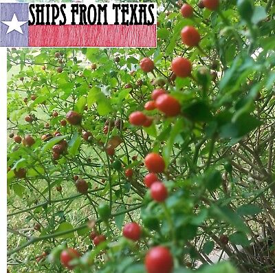 Chile Pequin/Tepin/Petin,,,Hot Hot Pepper, Capsicum Annuum, 50 Frsh Homegrwn Sds