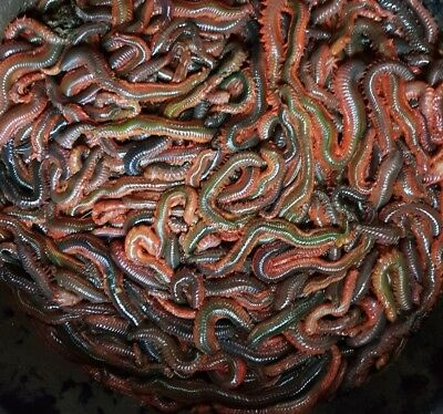 away till monday1lb live wild ragworms  fishing bait next day delivery by 1pm