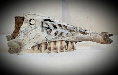 Mandibula decorada del Neolitico. Decorated mandible of the Neolithic.
