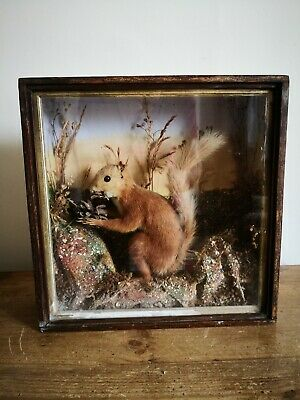 Antique Taxidermy Red Squirrel Eating Pine Cone - Cased & Glazed