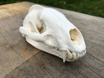 Real Badger skull professionally crafted taxidemy stuffed tatto curio bone #1