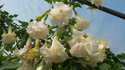 Double white flowered Brugmansia 2 rootless cuttings