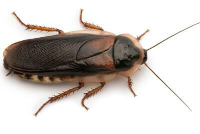 Dubia Roaches Adult Males