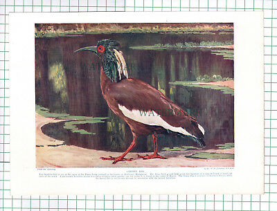 (184) Crested Ibis Bird -  c.1920s Book Print