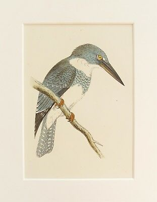 Belted Kingfisher Bird Print - c.1850 Mounted Antique Hand Coloured Engraving