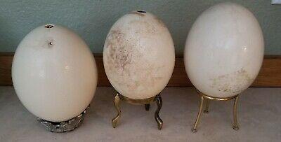 "3 Ivory Ostrich Eggs 6""+  Blown Clean with 1 hole. For art, sculpting, painting"