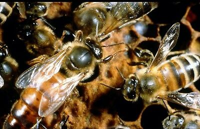 Mated Honeybee Queen (MARKED). Shipping up to 10 queens. Limited Quantity
