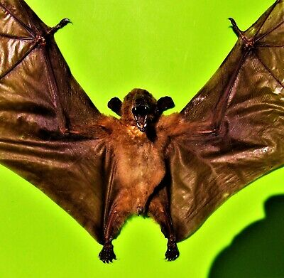 Dagger-toothed Long-nosed Fruit Bat Macroglossus minimus Spread FAST FROM USA