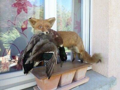 renard taxidermie  colvert  fox ancien