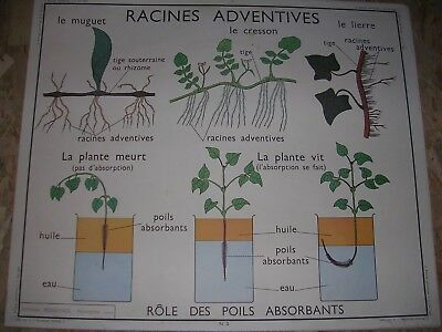 "Ancienne affiche scolaire Rossignol,  "" Racines adventives / Les tiges """