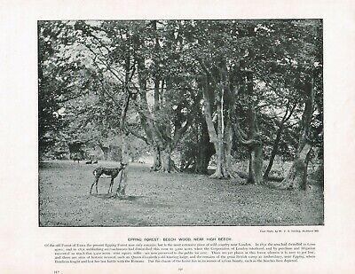 Epping Forest Beech Wood Near High Beach Antique Picture Print c1896 PEAW#237