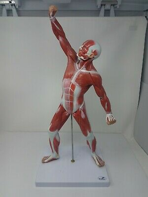 "Wellden Muscle Figure Approximately 20"" Tall"