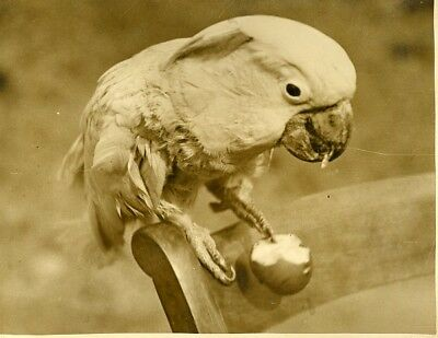 Rose breasted cockatoo eating apple London Zoo Cacatoes Rosalbin old Photo 1930'