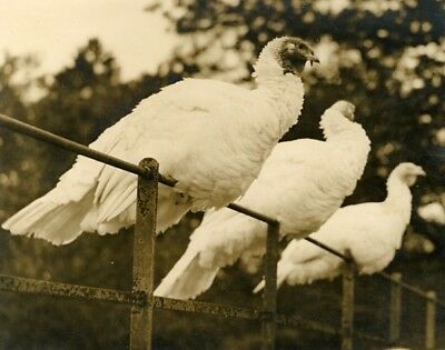 200 Turkeys being reared for christmas at Lingfield by Spender Clay Photo 1929'