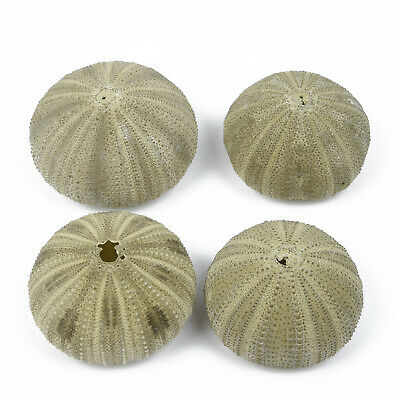 4 Pcs Natural Green Sea Urchin Natural Shell Conch Beach Party Home Decor Gifts