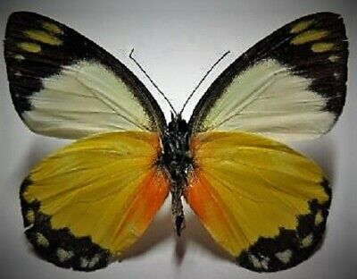 Very Uncommon Pieridae Butterfly Delias dorylaea Folded FAST FROM USA