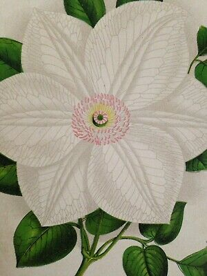 Antique Victorian Lithograph Of White Clematis 1891
