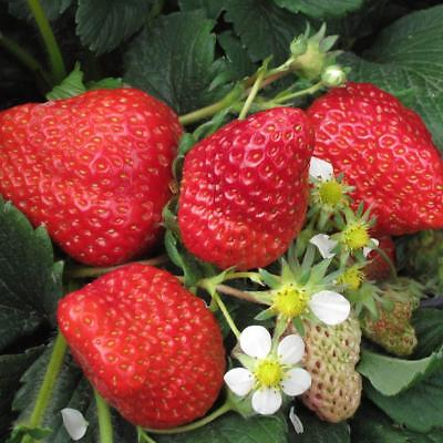 300Pcs Giant Strawberry Seeds Seeds Fruit Vegetable Flower Home Planting