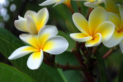 Plumeria plants large in pots tall 6-20 tips - yellow and white flowers celadine